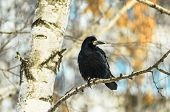 Beautiful And Big Black Crow Sitting On A Branch In Cold Winter Weather, A Beautiful Bright Backgrou poster