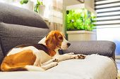 Beagle Dog Tired Sleeps On A Cozy Couch In Bright Room. Adorable Canine Background poster