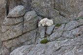 A White Mountain Goat Laying On A Narrow Shelf Of Rock On A Cliff Face At Black Elk Peak, Formerly C poster