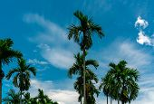 Areca Nut Palm (areca Catechu). Betel Nut Palm Tree With Blue Sky And White Clouds. Commercial Crop. poster