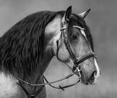 Spanish horse with long mane and forelock in bridle. Black and white portrait.  poster