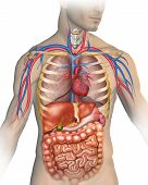 image of intestines  - Anatomy of the human body with different organs that compose - JPG