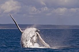 picture of exhibitionist  - A Humpback whale breach in the hervey bay Australia - JPG