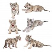 foto of white tiger cub  - baby white bengal tiger isolated on white background - JPG