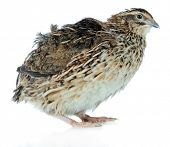 Young quail isolated on white