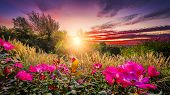 image of early morning  - Rural countryside landscape featuring pink roses and tall grasses bathed by early morning light