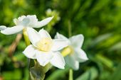stock photo of narcissi  - This is a flower of the daffodil in spring - JPG