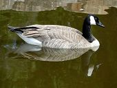 picture of boise  - A Canadian goose is reflected in the still water of a Boise city pond.