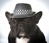 image of fedora  - french bulldog wearing fedora hat - JPG