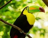picture of toucan  - Portrait of colorful Keel - JPG