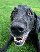 image of spayed  -  a cute black lab at a local park or backyard - JPG