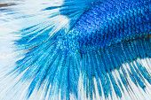 picture of siamese fighting fish  - betta siamese fighting fish skin texture for background - JPG