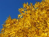 foto of ash-tree  - autumnal golden foliage of ash - JPG