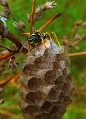 pic of hornet  - Vespa velutina nigrithorax the Asian hornet originates from Southeast Asia and is an invader wasp that has appeared in Europe in France Spain and Portugal - JPG