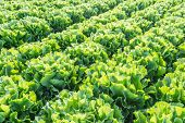 picture of endive  - Large field with harvestable Endive or Cichorium endivia plants at a vegetable nursery - JPG