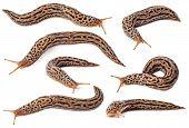 foto of slug  - Set of spotted slugs isolated on white background - JPG