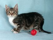 stock photo of blue tabby  - Fluffy tabby kitten standing on blue background next to red ball - JPG
