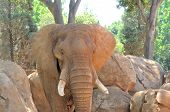 foto of elephant ear  - Elephant colored red by mud flapping its ears - JPG