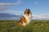 pic of collie  - Rough Collie or Scottish Collie over nature background - JPG