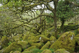 stock photo of epiphyte  - Moss covered Granite Boulders & Oak Trees with epiphytic mosses lichens and ferns