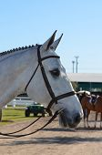 picture of bridle  - Show profile of a gray horse with bridle and bit - JPG