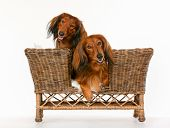 stock photo of dachshund dog  - Two isolated purebred brown longhaired dachshund dogs sitting in dog sofa - JPG