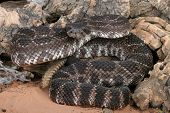 picture of venomous animals  - Portrait of a Southern Pacific Rattlesnake - JPG