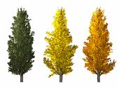picture of row trees  - Set of populus nigra tree isolated on white background - JPG
