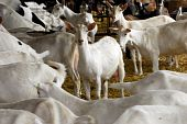 picture of saanen  - herd of dairy goat in a barn  - JPG