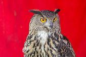 picture of eagle  - The Eurasian eagle - JPG