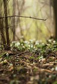 Постер, плакат: Snowdrops In A Forest