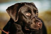 picture of chocolate lab  - Close - JPG