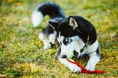 stock photo of toy dogs  - Young Dog Husky Puppy Plays With Her Toy  - JPG