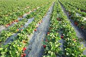 image of strawberry plant  - strawberry plants and fruits in growth at field - JPG