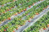 stock photo of strawberry plant  - strawberry plants and fruits in growth at field - JPG