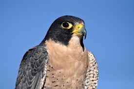 image of falcons  - Peregrine falcon against blue sky of Colorado - JPG