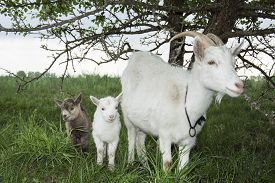 pic of baby goat  - Spring near the bushes stands a white goat with two young goats. ** Note: Shallow depth of field - JPG