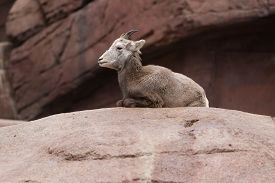 pic of youg  - Youg bighorn sheep lying on a rock - JPG