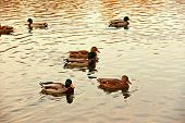 stock photo of duck pond  - Ducks on a pond. Shallow depth of field ** Note: Shallow depth of field - JPG