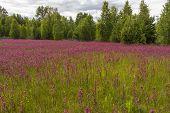 picture of meadows  - Smolka meadow flowers grow on large meadow  - JPG