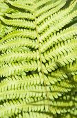 picture of fern  - Green Fern Leaf in a sunny day closeup - JPG
