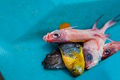 foto of jamaican  - Exotic jamaican fish just catching in the sea - JPG