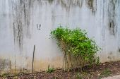 image of ivy  - Ivy Crawling Next To The White Vintage Wall - JPG