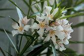 foto of oleander  - Closeup of rose oleander  or Nerium oleander flower - JPG