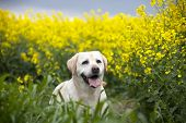 stock photo of maliciousness  - white labrador retriever dog on the nature - JPG