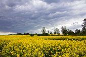 stock photo of rape-field  - summer storm clouds above a rape seed field - JPG