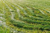 picture of splayed  - Field with green mown hay collected in windrows - JPG