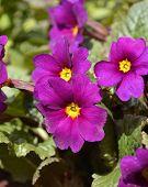 foto of primrose  - Spring flower bed  - JPG