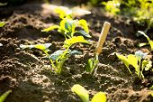 image of spade  - Closeup photo of spade in garden with small sprouts - JPG