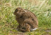 pic of hare  - Brown Hare crouching down on the grass - JPG